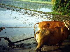 Reisbauer auf Bali beim Pflügen des Reisfeld mit seinem Ochsengespann