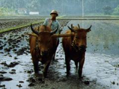 Bauer mit Ochsen im Reisfeld, beim Pflügen