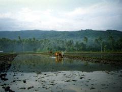 Ochsengespann im Reisfeld auf Bali, Lovina Beach