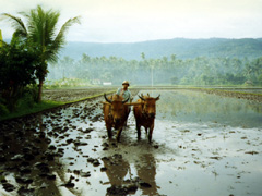 Bauer beim pflügen auf der Insel Bali
