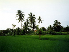 Reisfeld hinter dem Hotel in Ubud auf Bali
